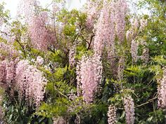 Picture by Meneerke bloem (Own work) [GFDL or CC BY-SA via Wikimedia Commons (syn. 'Honi-beni', pink Japanese wisteria) Family Papilionaceae Originating from Japan Vigorous climber with cascading racemes crowded with fragrant, pale rose, pea-like. Pergola Garden, Backyard, Wisteria Plant, Wisteria Garden, Climbing Flowers, Peat Moss, Seed Pods, Seed Starting, Back Gardens