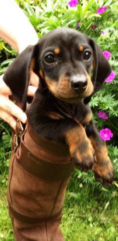 Little Dex loves his Mum's #Dubarry Longford #boots!