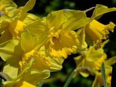 Daffodils Flower | The Flowers Avenue.