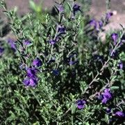 Salvia lycioides (Canyon sage ) Click image to learn more, add to your lists and get care advice reminders each month.