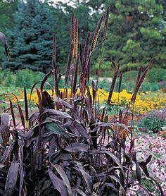Millet, Purple Majesty,