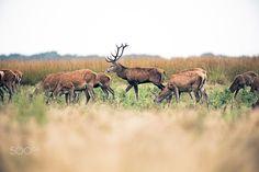 Grazing herd of red deer doe with stag walking by. National park - Grazing herd of red deer doe with stag walking by. National park Hoge Veluwe. The Netherlands.