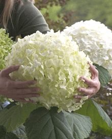 Incrediball Hydrangea  Easy to grow; drought, insect, disease resistant, fast growing; grows about anywhere. Blooms from midsummer through frost. Butterflies love them. Reliable re-bloomer. Plant Hydrangea with good drainage and lots of compost to hold moisture. Plant your new bushes in morning sun only. Don't prune, flowers form on the tips of the stems. Hydrangeas leaf out in spring from bottom to top along the stems. Bloom all season.