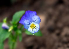 Dew On Pansy Bloom