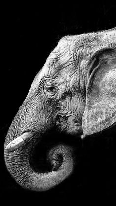 Best Elephant Photos You Never Seen Before - Animals Comparison Photo Elephant, Elephant Love, Elephant Art, Elephant Black And White, Animals Black And White, Black And White Pictures, Elephant Wallpaper, Animal Wallpaper, Iphone Wallpaper