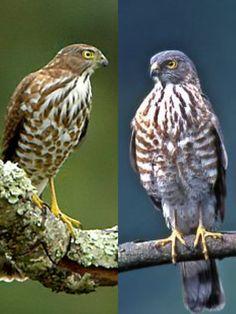 Besra (LC) Raptors, Vulnerability, Owl, Bird, Animals, Animales, Animaux, Owls, Birds