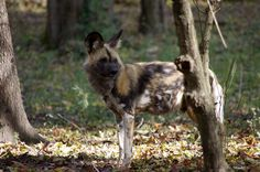 Tsavo, male African Painted Dog. African Painted Dogs are found in sub-sahara African. There are only 3 - 5,000 of them remaining. Come see one of these endangered canids on our tour. Call the center to reserve your spot: 636-938-5900. Photo taken at the Endangered Wolf Center.