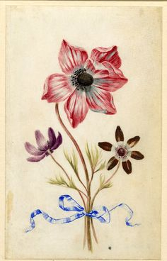 Drawing from an album, large crimson and white and small purple Anemones, tied with blue ribbon Watercolour over metalpoint, shaded with grey and heightened with white, on vellum by Alexander Marshal.  © The Trustees of the British Museum