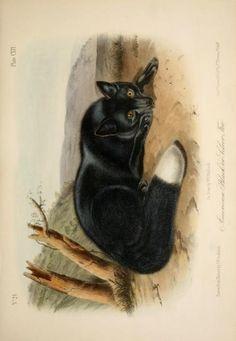Black or silver fox, The quadrupeds of North America, John James Audubon, Vol III, 1851-54.