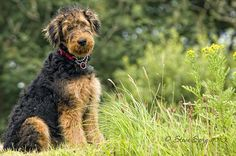 Airedale Terrier by Sprigo, via Flickr