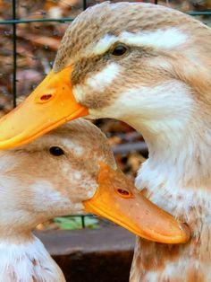 Yellow Birch Hobby Farm: Saxony duck