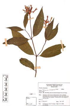 Palicourea_marcgravii. Flora da Serra Negra MG