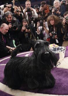 Sadie the Scottish terrier winning Westminster Kennel Club Dog Show 2010