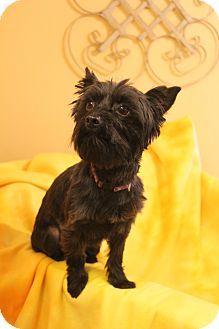 Bedminster, NJ - Schnauzer (Miniature)/Poodle (Miniature) Mix. Meet YoYo, a dog for adoption. http://www.adoptapet.com/pet/11942443-bedminster-new-jersey-schnauzer-miniature-mix