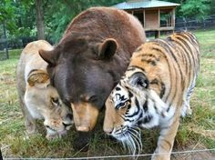 This lion, bear & tiger have been raised together since birth and they still are very close as adults