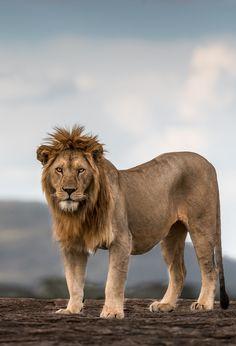 Lion King. Serengeti National Park, Tanzania.