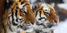 Tiger vor dem Aussterben retten!
