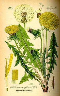 лекарственные растения рисунок: 16 тыс изображений найдено в Яндекс.Картинках