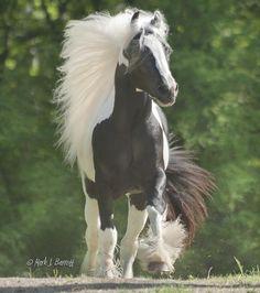 Stillwater Farm: Our Horses - Gypsy Vanner Horses - Cashiers, North Carolina