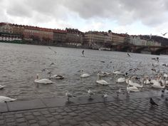 #cisnes