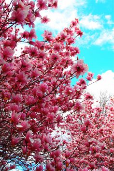 Magnolia. I miss my Magnolia tree at my old house, would love to have one again.