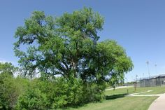 Cedar Elm (Ulmus crassifolia)