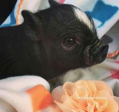 pet pig supplies -- Click visit link above to read Cute Baby Pigs, Baby Piglets, Cute Piglets, Teacup Piglets, Baby Animals Pictures, Cute Animal Photos, Animals And Pets, Farm Animals, Cute Little Animals