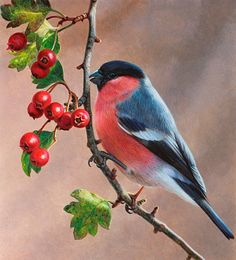 Bird on branch with berries, Bullfinch (Pyrrhula pyrrhula), Andrew Hutchinson Funny Birds, Cute Birds, Pretty Birds, Beautiful Birds, Funny Animals, Watercolor Bird, Watercolor Paintings, Tattoo Watercolor, Vogel Illustration
