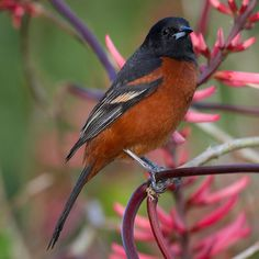 Orchard Oriole, smallest North American oriole