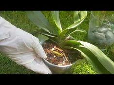 Orkide kurtarma, bakımı, gübreleme ve sulaması . Orchid care, watering & feeding. Save sick orchids - YouTube