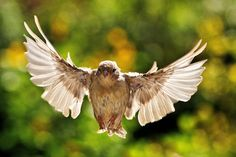 Angels landing!   Sparrow flying Canon 7D