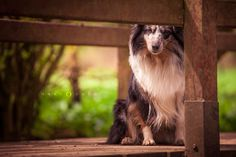 Sheltie lady waiting for her owners to come home  #sheltie #afliafotografie