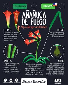 Añañuca de Fuego #floranima #esclerofilo #bosqueesclerofilo #flora #chile #infografia #infographic #ilustracion #illustration #planta #plant #botanica #botanical