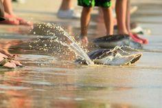 Запуск молодых морских черепах в море. Фотограф Вера Однолько