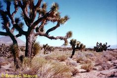 Joshua Trees, so CA desert main Trees, Earth, God, Places, Outdoor, Dios, Outdoors, Tree Structure, Allah
