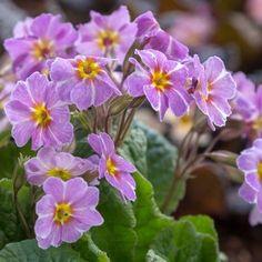 Primula vulgaris 'Avondale' Perennials, Lust, Gardening, Plants, Flowers, Garten, Flora, Plant, Lawn And Garden