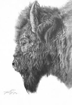 Detailed charcoal drawing if Bison