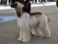 Cel mai frumos câine de la CACIB 2013 : PortalSM.ro