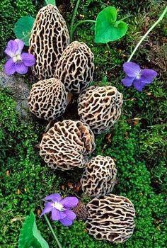 Morilles. | Mushrooms | Mushroom foraging | Wild food | Wild life | #mushrooms #mushroomforaging #wildfood | www.foragekitchen.com