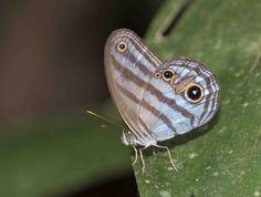 https://flic.kr/p/AJrrwB | Chloreuptychia agatha, Agatha's Blue-Satyr, 2015 Oct 28, Apuya, Napo, Ecuador, JGlassberg - 4612 | Agatha's Blue-Satyr, Chloreuptychia agatha, Ecuador butterflies, Sunstreak Tours, Glassberg