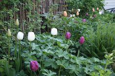 - tulipaner i staudebedet?