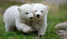 Esibizione allo zoo di Monaco dei due orsetti gemelli nati lo scorso dicembre. In occasione della loro prima apparizione pubblica, i cuccioli, figli di Giovanna, si sono sbizzarriti davanti ai visitatori, in capriole, linguacce e rincorse in mezzo al fango