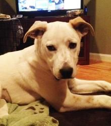 Wiz is an adoptable Labrador Retriever Dog in Pelham, NH. Wiz is a 5 month old lab mix weighing 25 lbs. she is just a little girl but her pictures make her look huge. she is very sweet and good on lea...