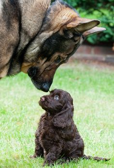 Stern looking German Shepherd police dog Harry nuzzles a worried looking Archie the puppy on his first day home in this touching image by Simon Reynolds – runner up in the puppy category