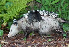 zariguella con bebitos / opossum with babies