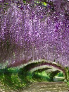 Kawachi Fuji Garden, Fukuoka, Japan    #purple