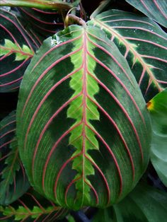 Most people are familiar with how to grow prayer plants. The prayer plant is easy to grow but has specific needs. Learn what those needs are in this article.