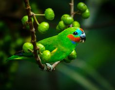 The Double-eyed Fig Parrot - Cyclopsitta diophthalma, inhabits forests in New Guinea and nearby islands, but is also found in isolated communities along the tropical Australian coast.