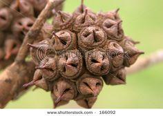 eucalyptus seed pod