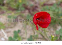 red flower, nature, environment, petals, petal, wind, flowers Stock Photo @alamy